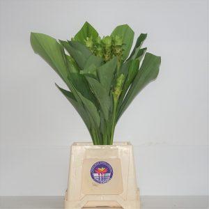 curcuma verde