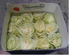 Rosa Mondial 50cm