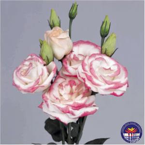 Lisianthus bianco e rosa