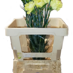 garofani gialli